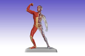 RS0212 Muscle Body Model