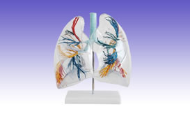 RS0218 Model of the Transparent Lung Segment