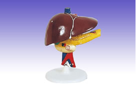 RS0219 Liver and Gallbladder Model